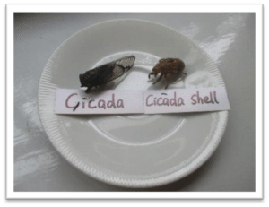 In the Montessori Classroom: children explore, predict and develop an increased understanding of the interdependence between land, people, plants and animals exploring cicadas